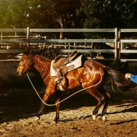 A breaker getting used to a saddle - Credit Edwina Robertson